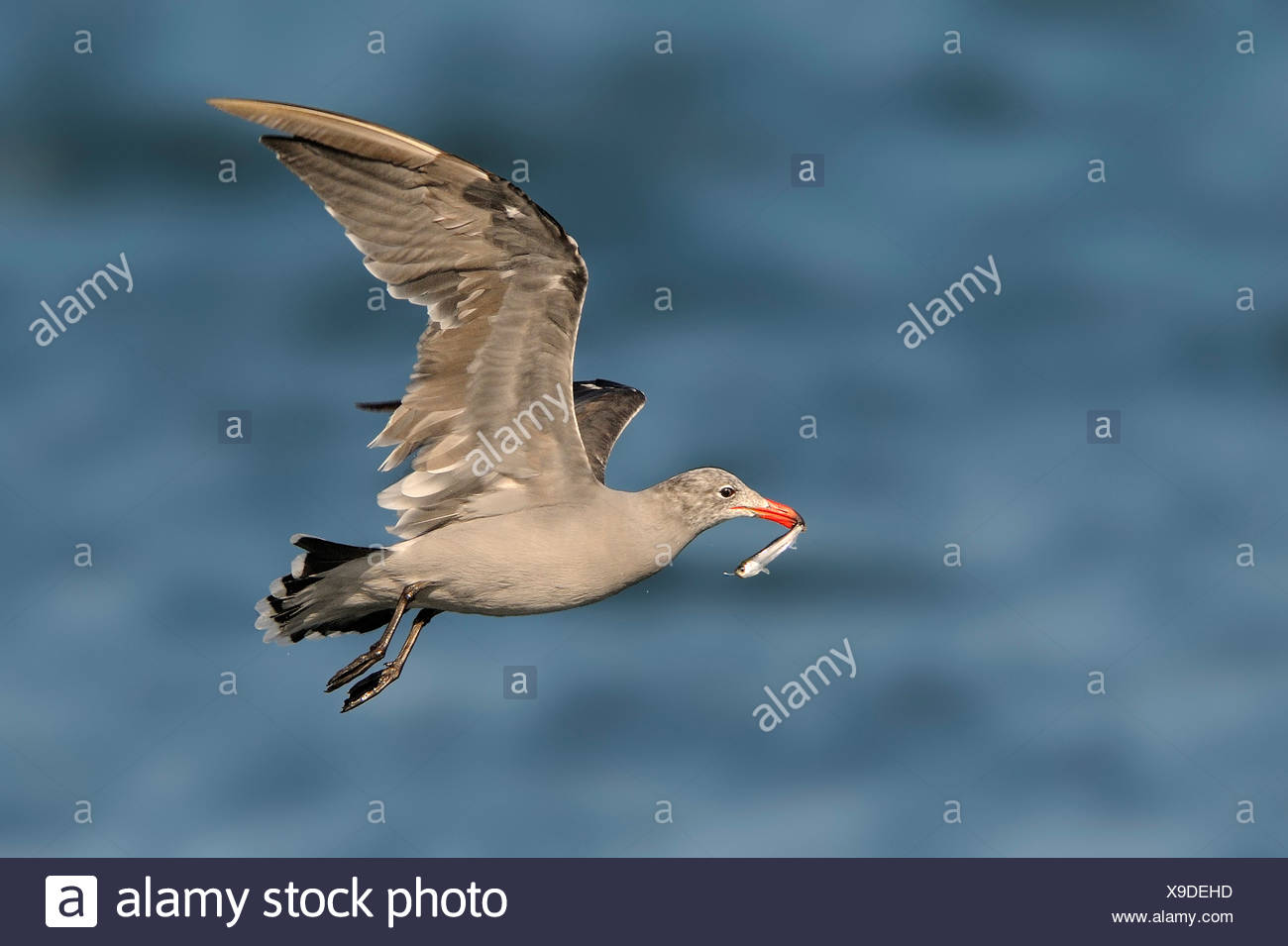 Heerman's Gull with bait fish, Westport WA Stock Photo