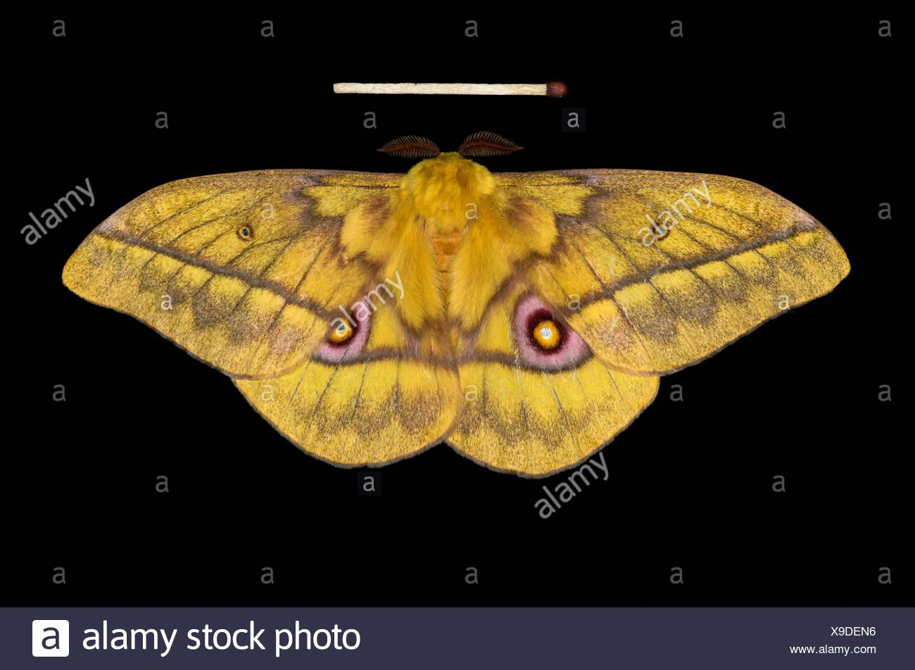 Saturnid Moth (Nudaurelia diones), native to Ethiopia - Stock Image