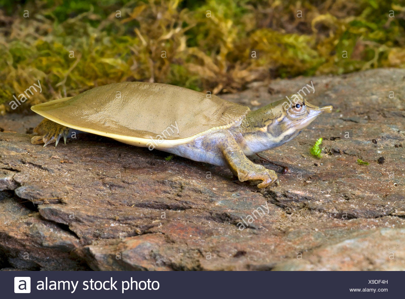 Spiny softshell turtles (Trionyx spiniferus, Apalone spinifera), side view - Stock Image