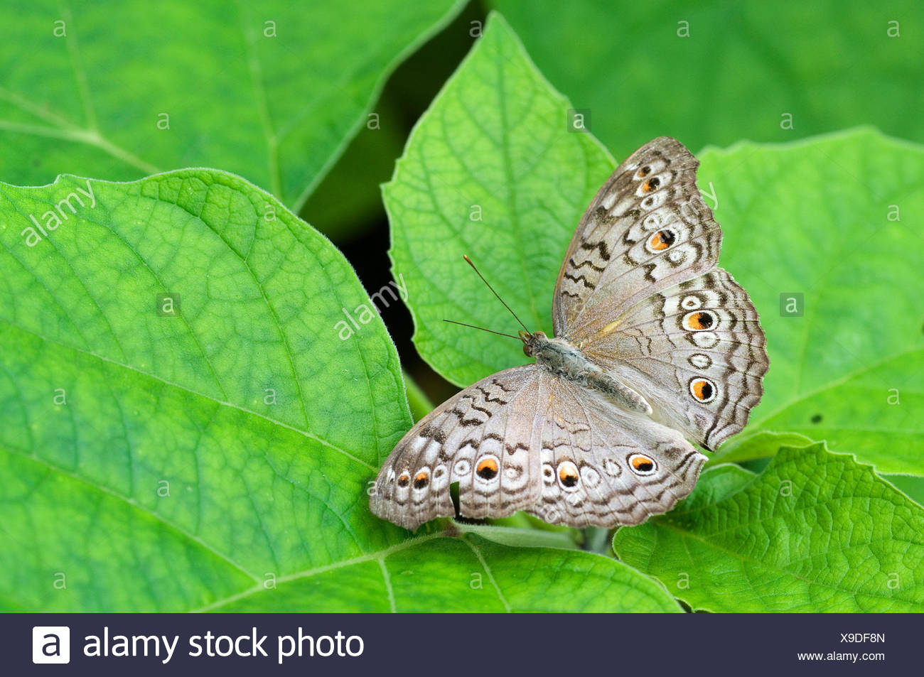 Grey pansy butterfly (Junonia atlites) at rest with wings open. - Stock Image
