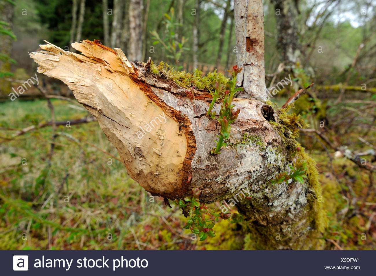 European Beaver - Castor fiber - tree damage - Stock Image