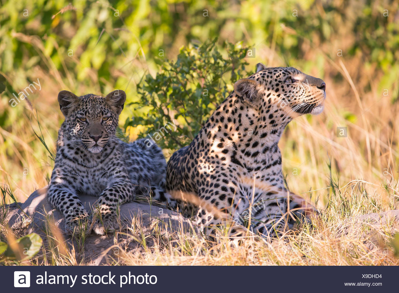 Leopard (Panthera pardus), female with her seven month old cub Stock Photo