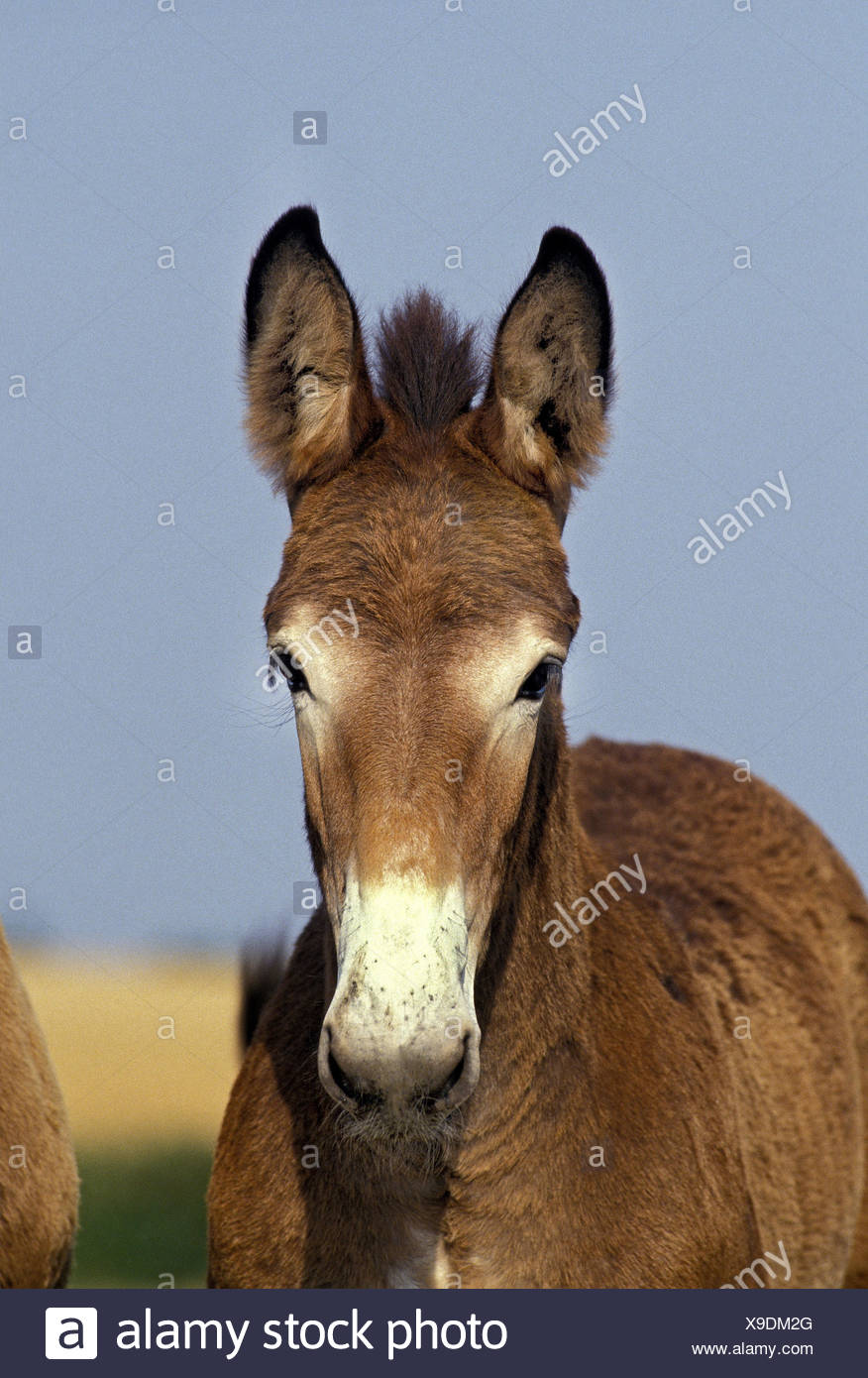 Mule or mule,junction of donkey stallion and horse's mare, - Stock Image