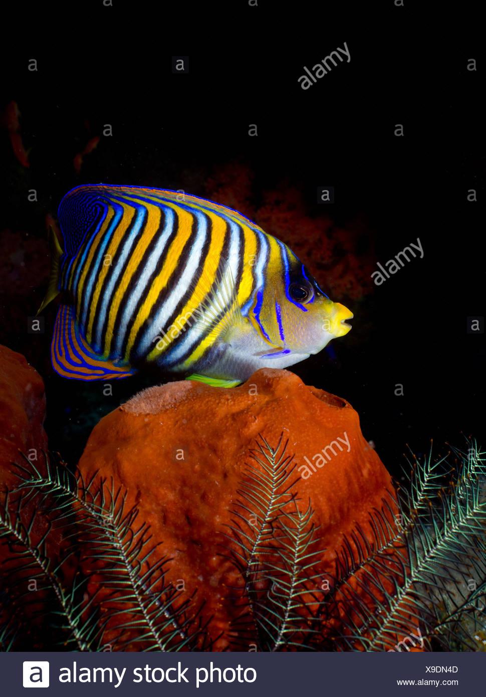 Regal angelfish on coral reef - Stock Image