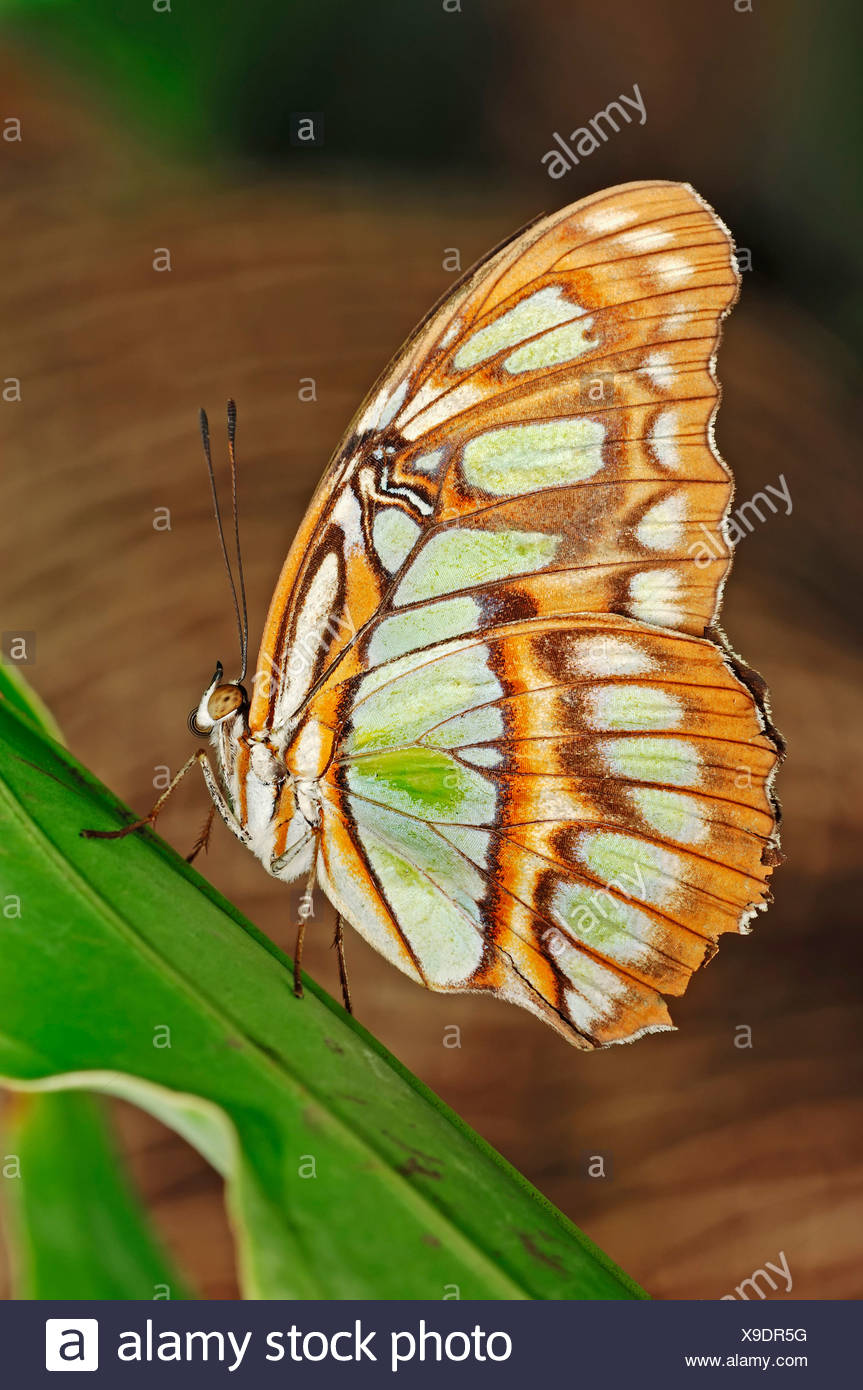 Malachite Butterfly (Siproeta stelenes), native to South America, in captivity, Netherlands, Europe - Stock Image