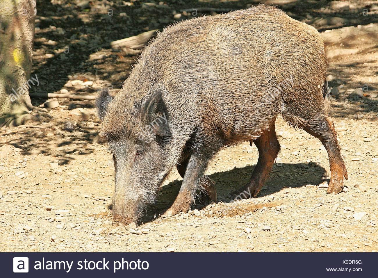 wild pork - Stock Image