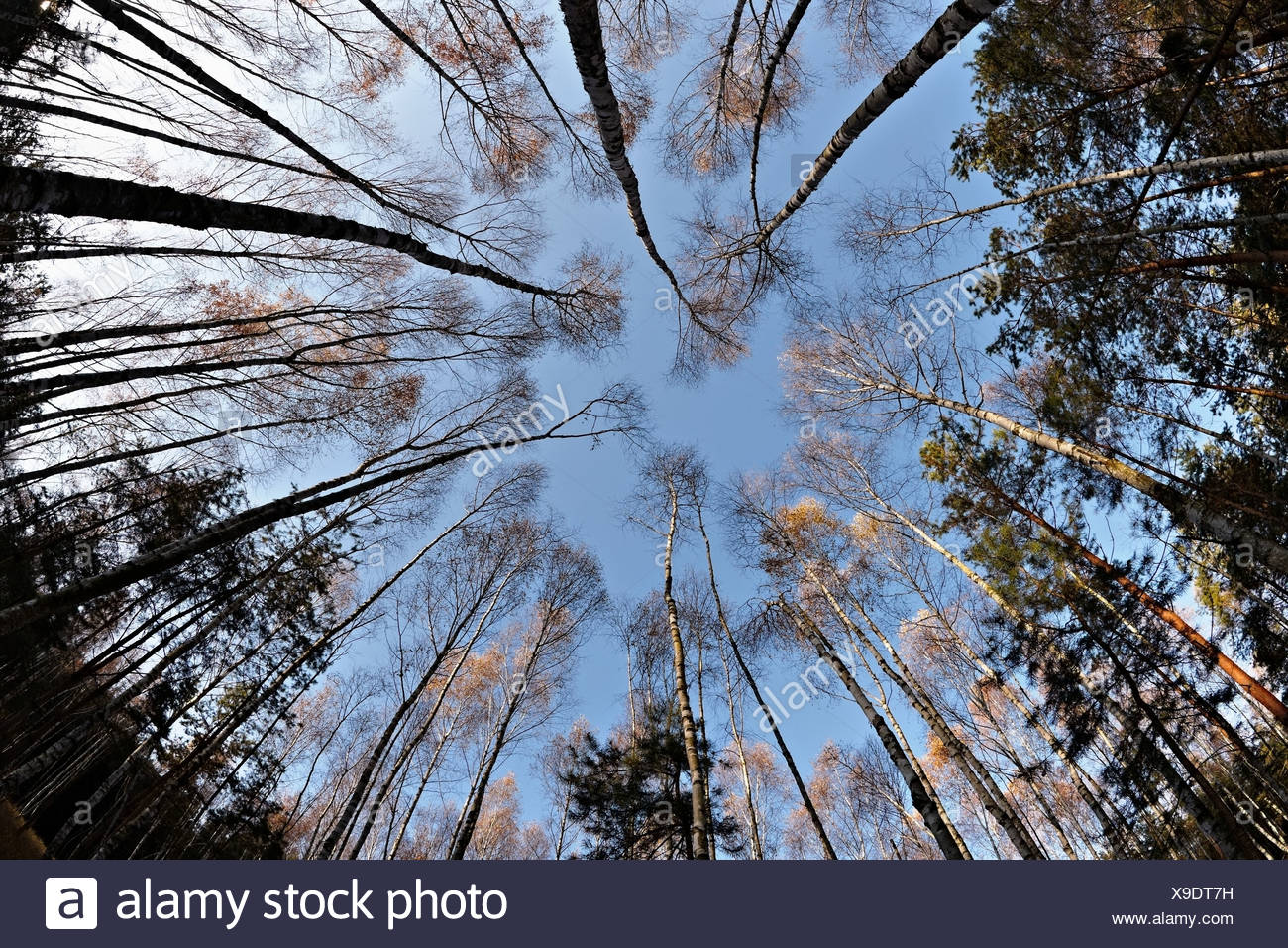 Fisheye view of birch and pine trees in forest - Stock Image