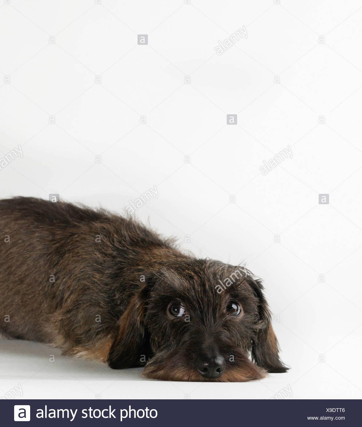 Long Haired Dachshund Dog Lying Stock Photos & Long Haired Dachshund ...
