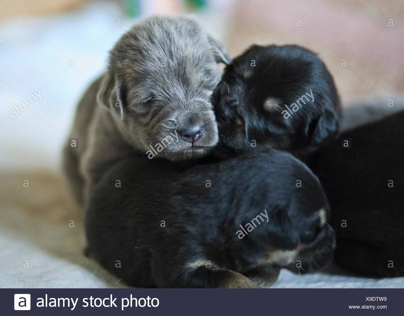 Tibetan Mastiff puppies Stock Photo: 281202693 - Alamy