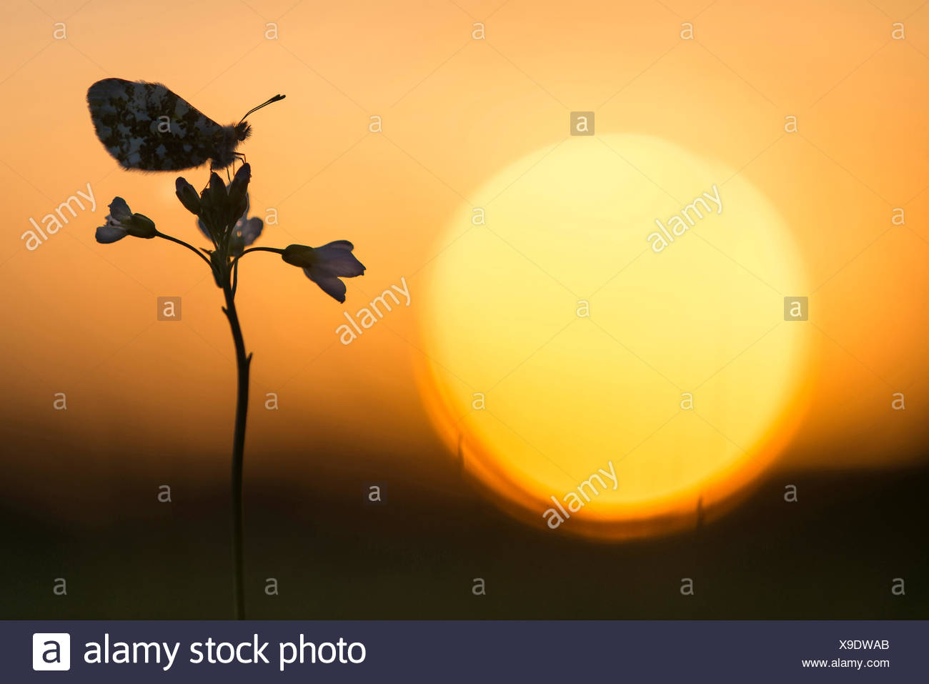 Orange-tip (Anthocharis cardamines), sitting on a bitter-cress in backlight, Germany, Lower Saxony, Oldenburger Muensterland Stock Photo