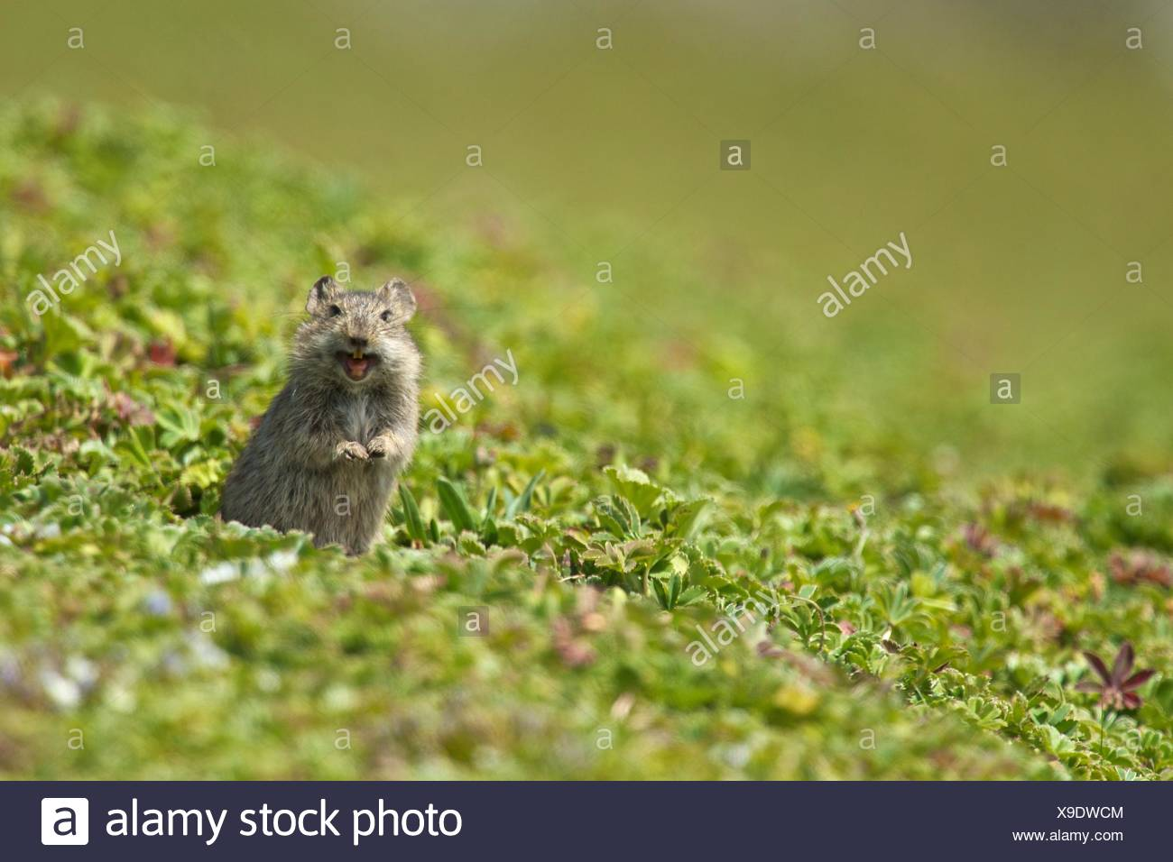 Blick Grass Rat Stock Photos & Blick Grass Rat Stock Images