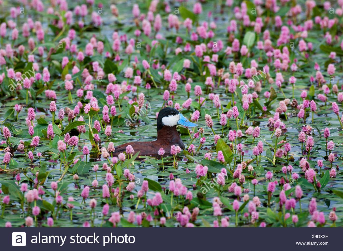 Ruddy duck (Oxyura jamaicensis), male among water smartweed (Polygonum amphibium), near Walden, Colorado. - Stock Image