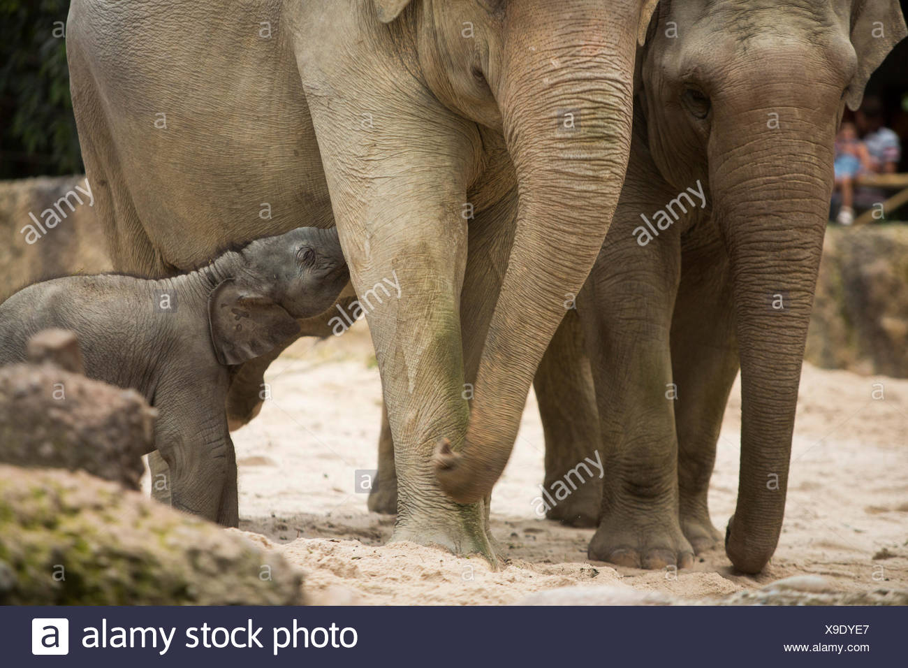 Animals, elephants, young, elephant, zoo Zurich, animals, animal, canton Zurich, zoo, Switzerland, Europe, - Stock Image