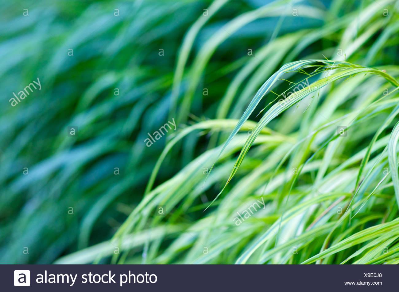 Grasses, blur, detail, - Stock Image