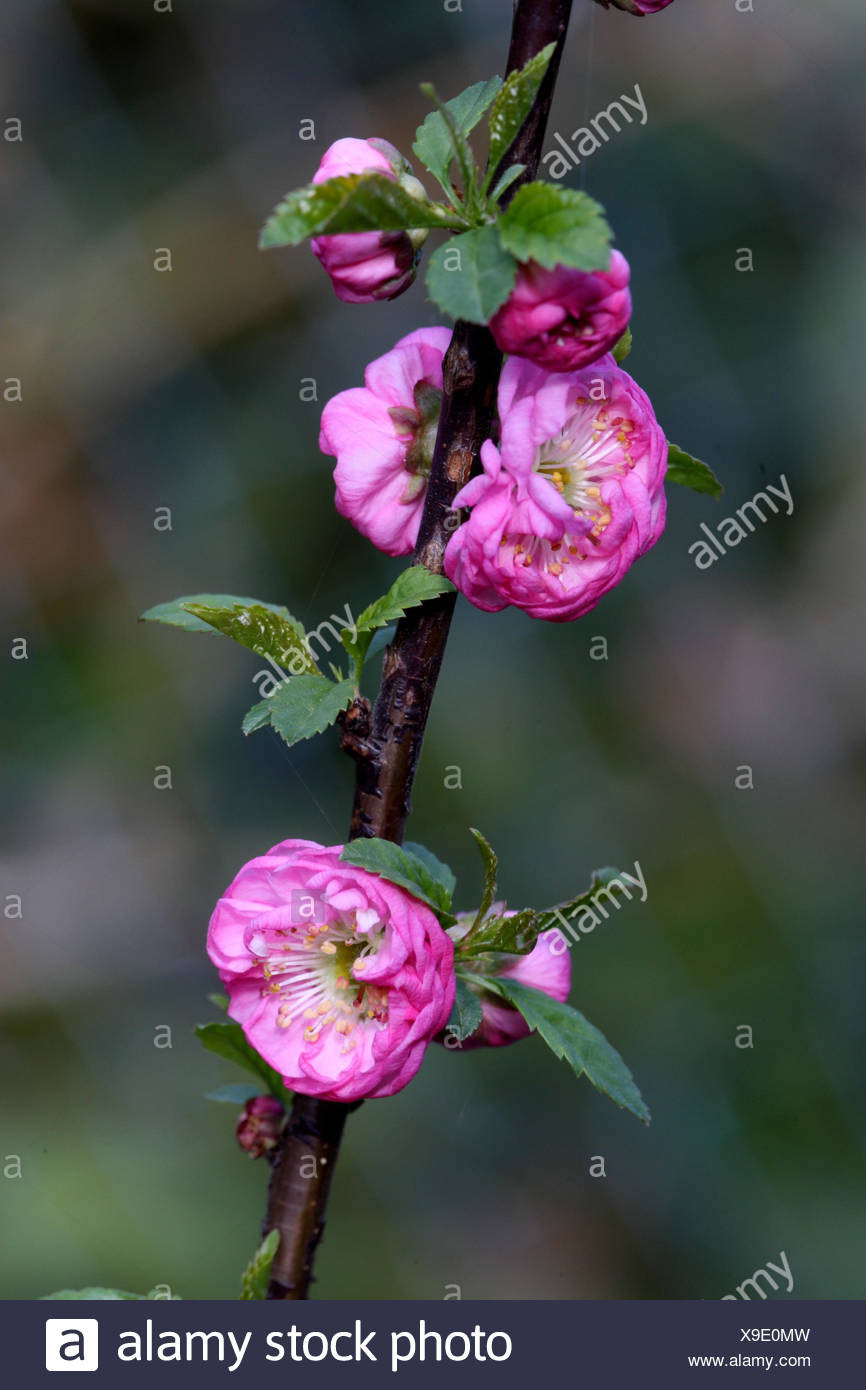 Tonsil blossom, branch, blossoms, medium close-up, - Stock Image
