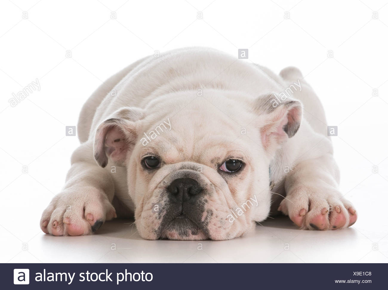 tired english bulldog puppy laying down stretched out on