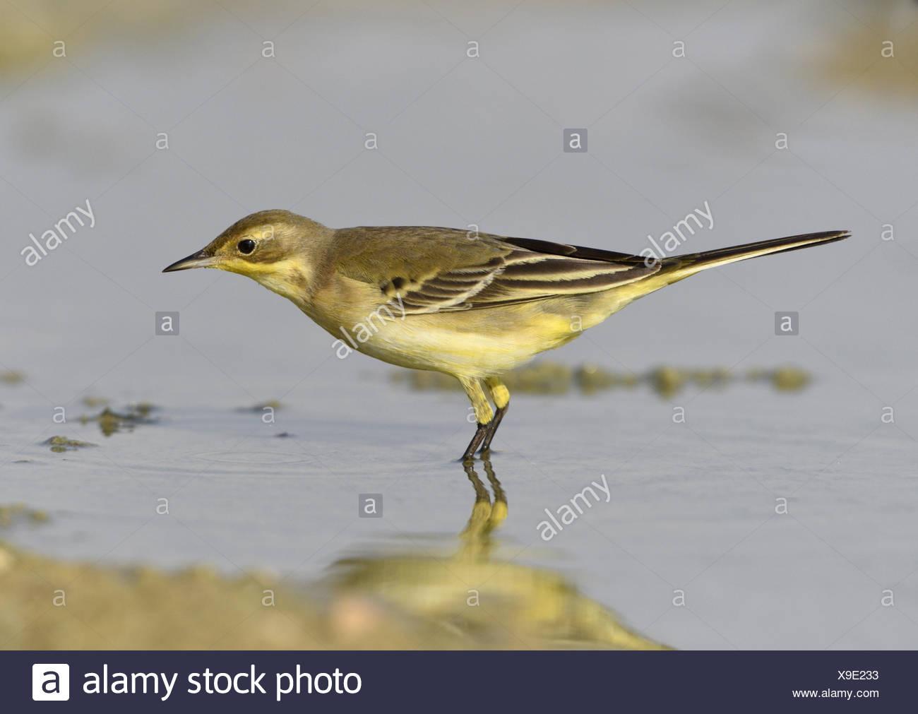 Yellow Wagtail - Motacilla flava - Stock Image
