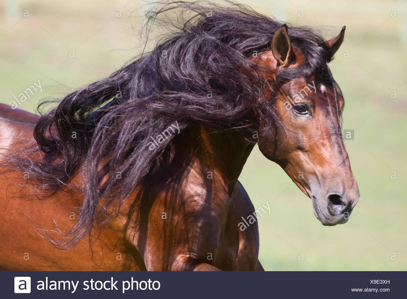 Bay Andalusian stallion running. Ojai, California, USA. - Stock Image