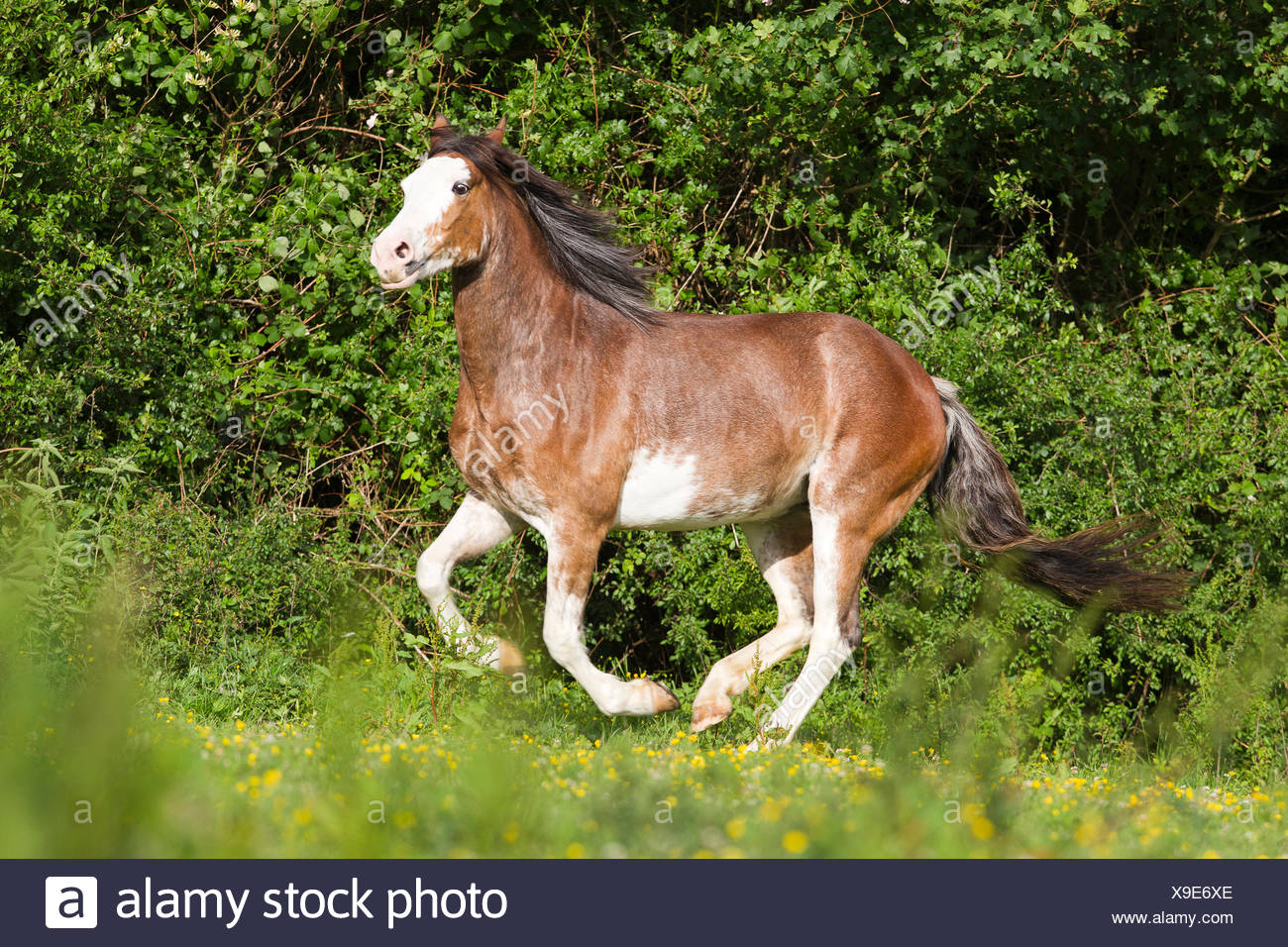Criollo Strawberry roan mare galloping pasture - Stock Image
