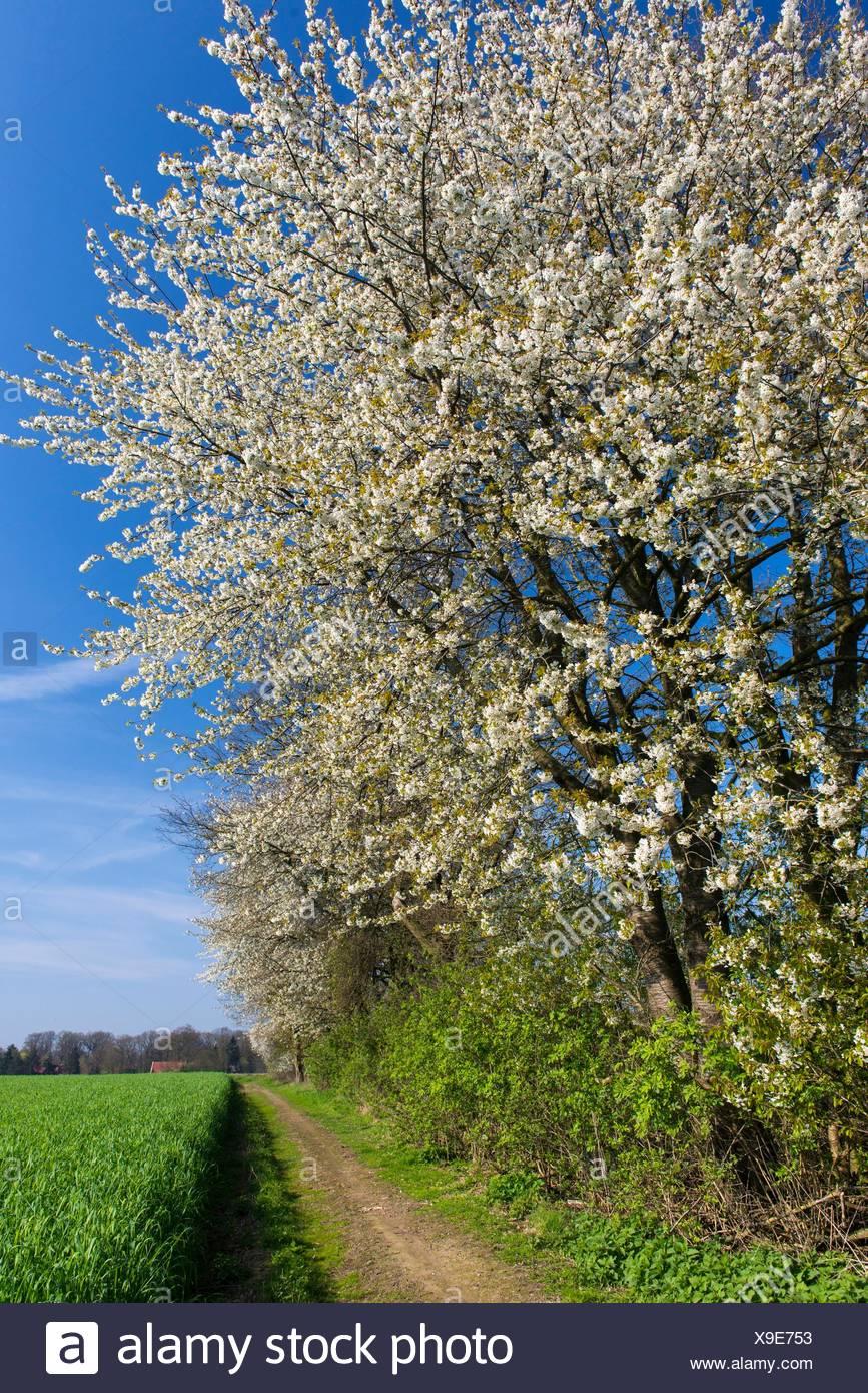 Bluehende Kirschbaeume im Fruehling, Oldenburger Muensterland, Niedersachsen, Deutschland - Stock Image