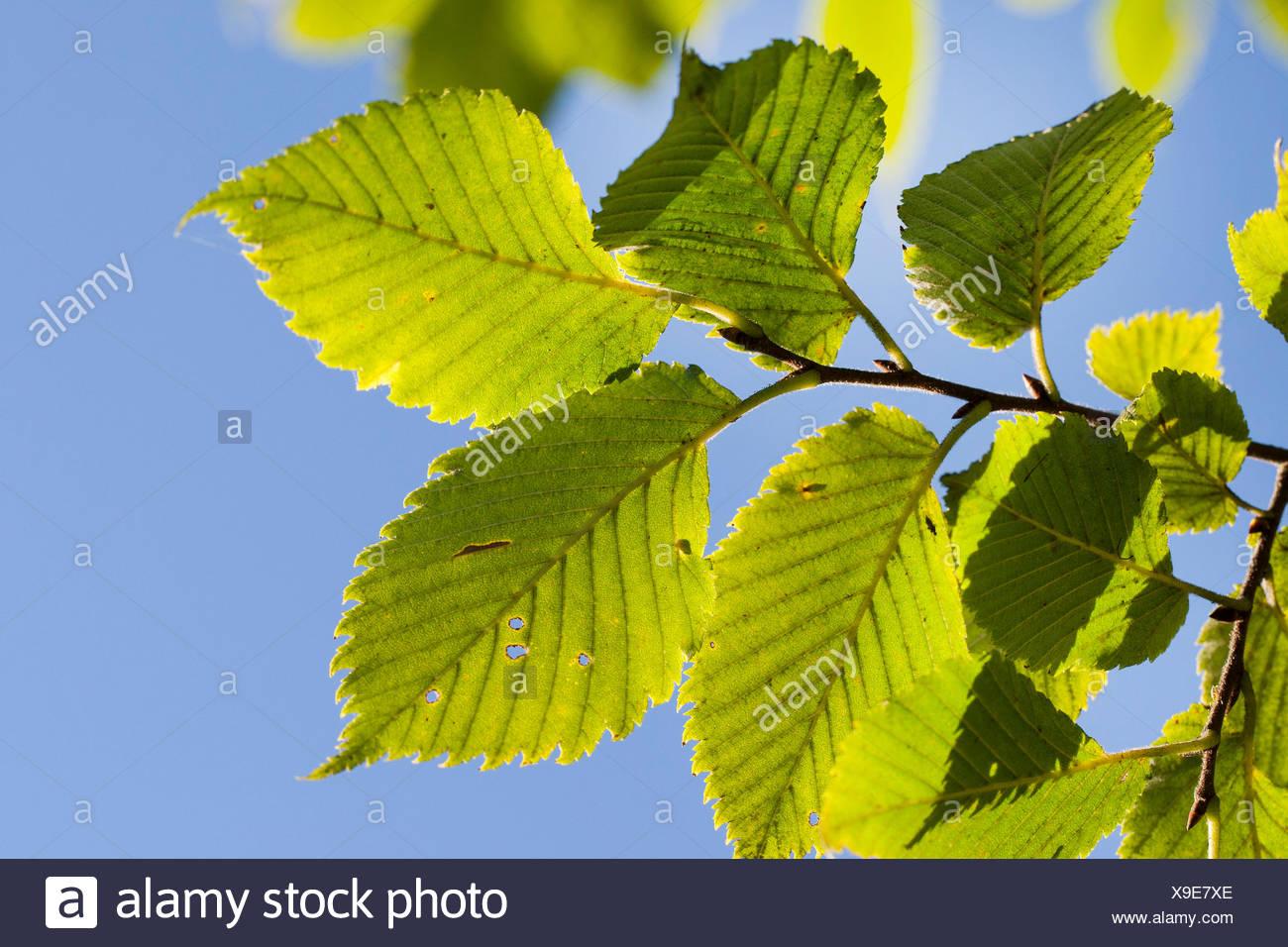 European elm, European White Elm, Fluttering Elm, Spreading Elm, Russian Elm (Ulmus laevis, Ulmus effusa), branch against blue sky, Germany - Stock Image