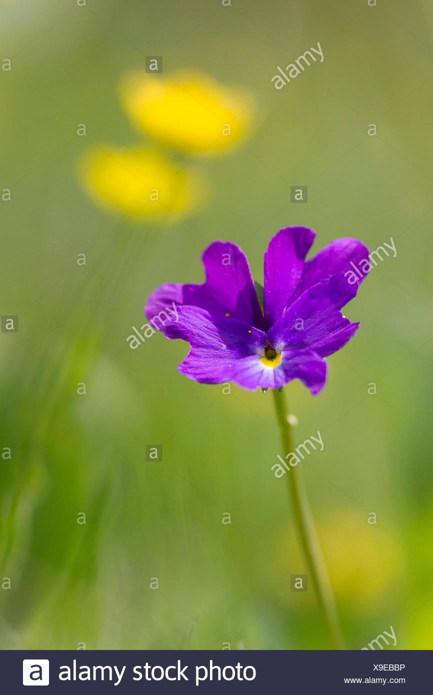 Lombardy, Italy, Viola culminis - Stock Image