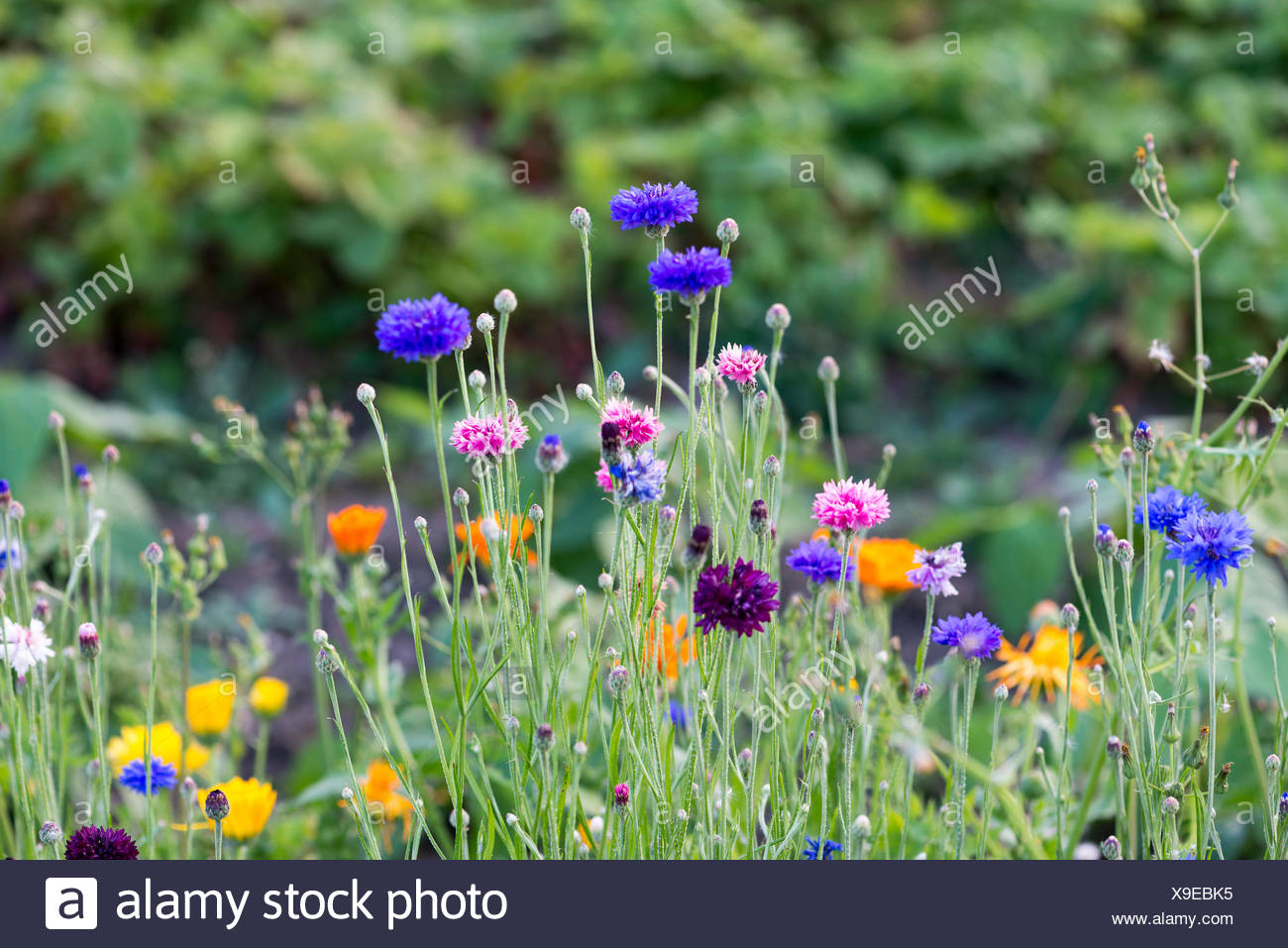 Wild flowers in a field - Stock Image