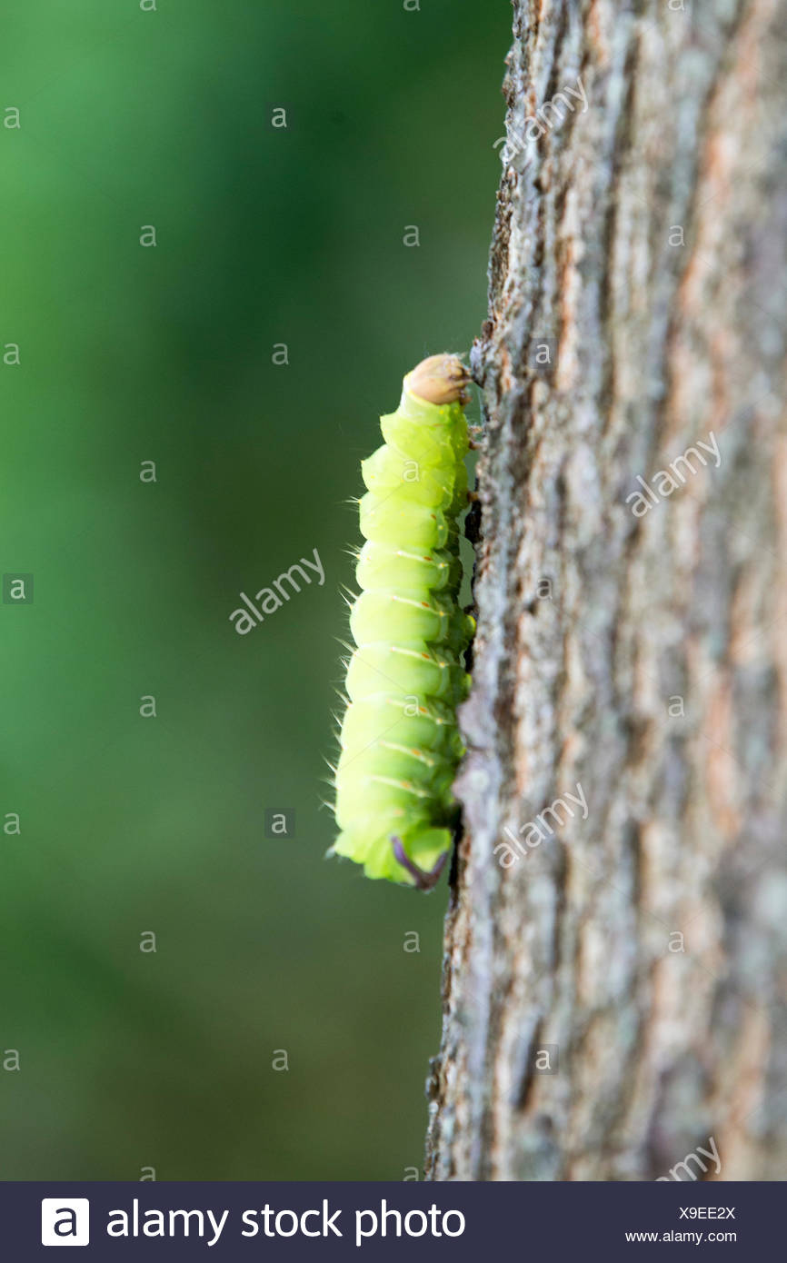 A caterpillar on the trunk of a tree. - Stock Image