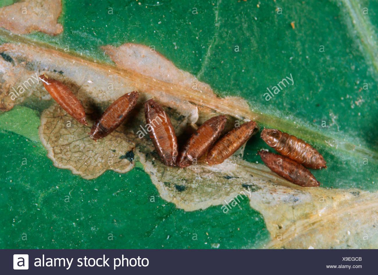 leaf miner (Scaptomyza flava ), pupas, pest on cabbage, Germany - Stock Image