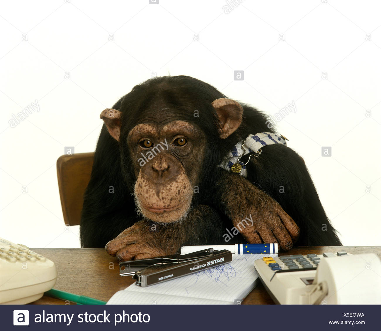 Chimpanzee, pan troglodytes, Dressed and Trained to do Like