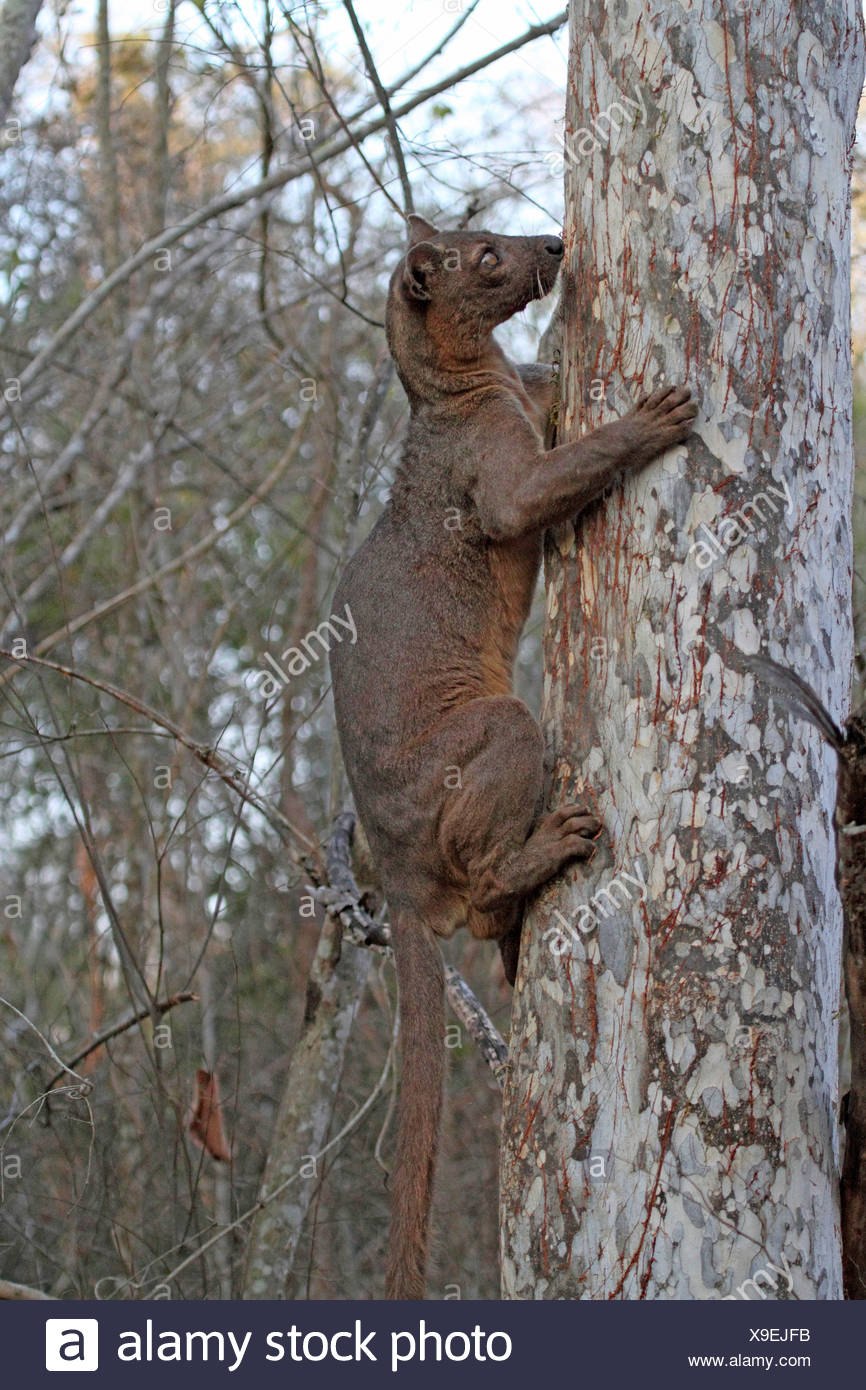 fossa (Cryptoprocta ferox), climbing a tree early morning, largest predator of Madagascar, Madagascar, Toliara, Kirindy Forest - Stock Image