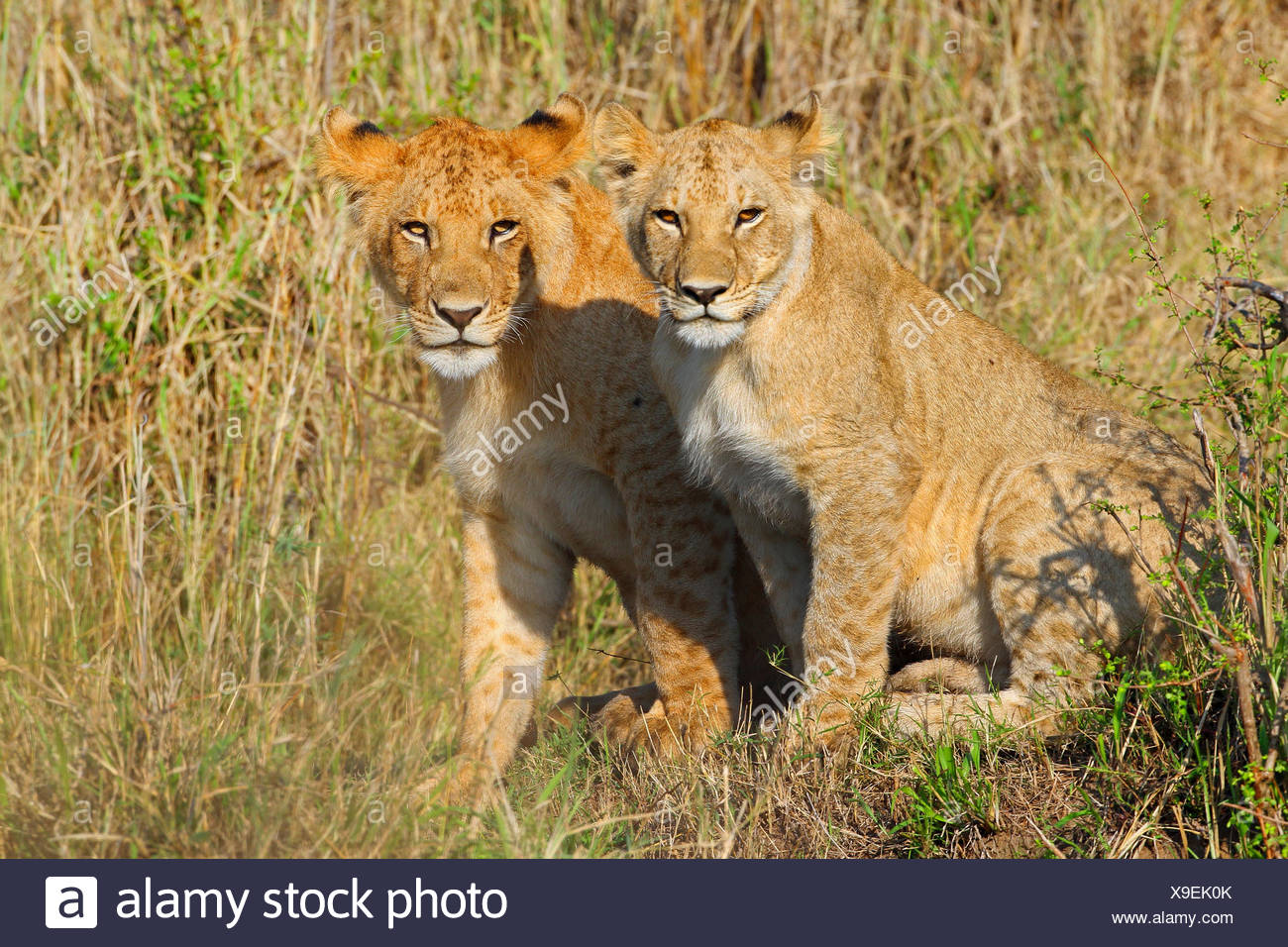lion (Panthera leo), two cubs, Kenya, Masai Mara National Park - Stock Image