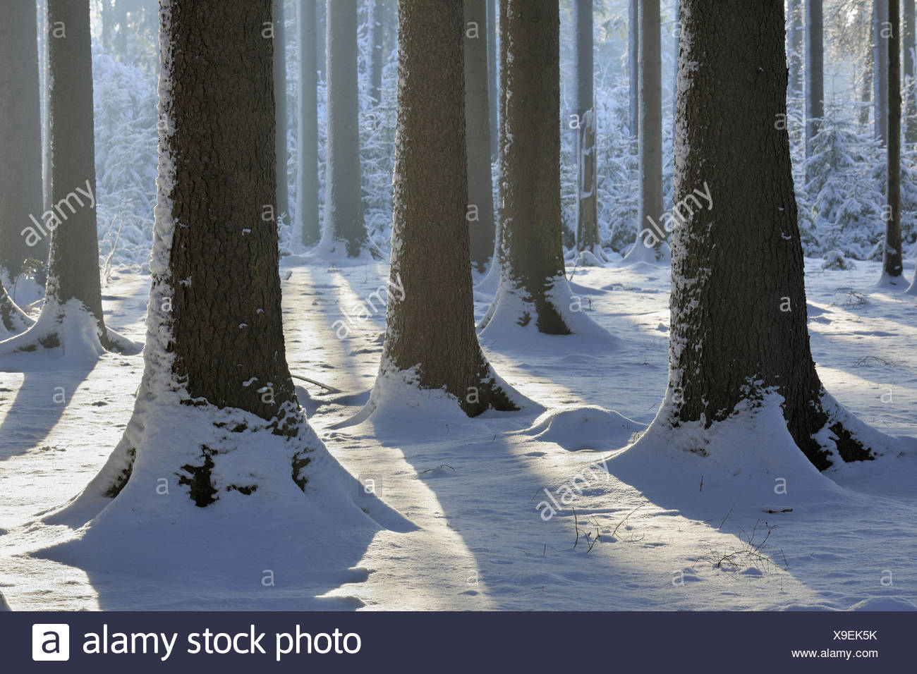 Winter wood, conifers, detail, trunks, - Stock Image