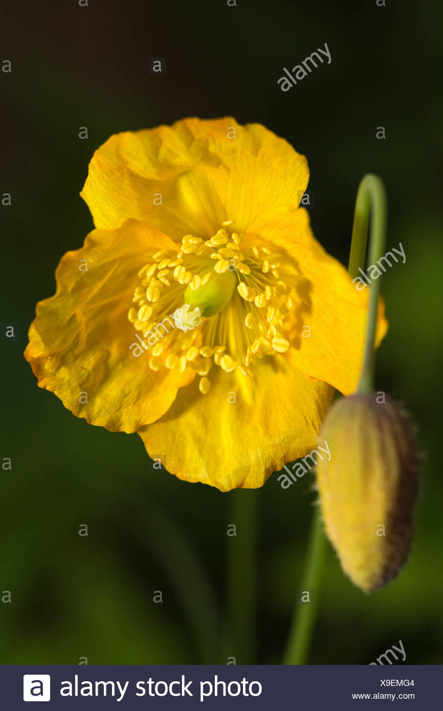 Close-Up Of Fresh Yellow Temperate Flower In Garden - Stock Image