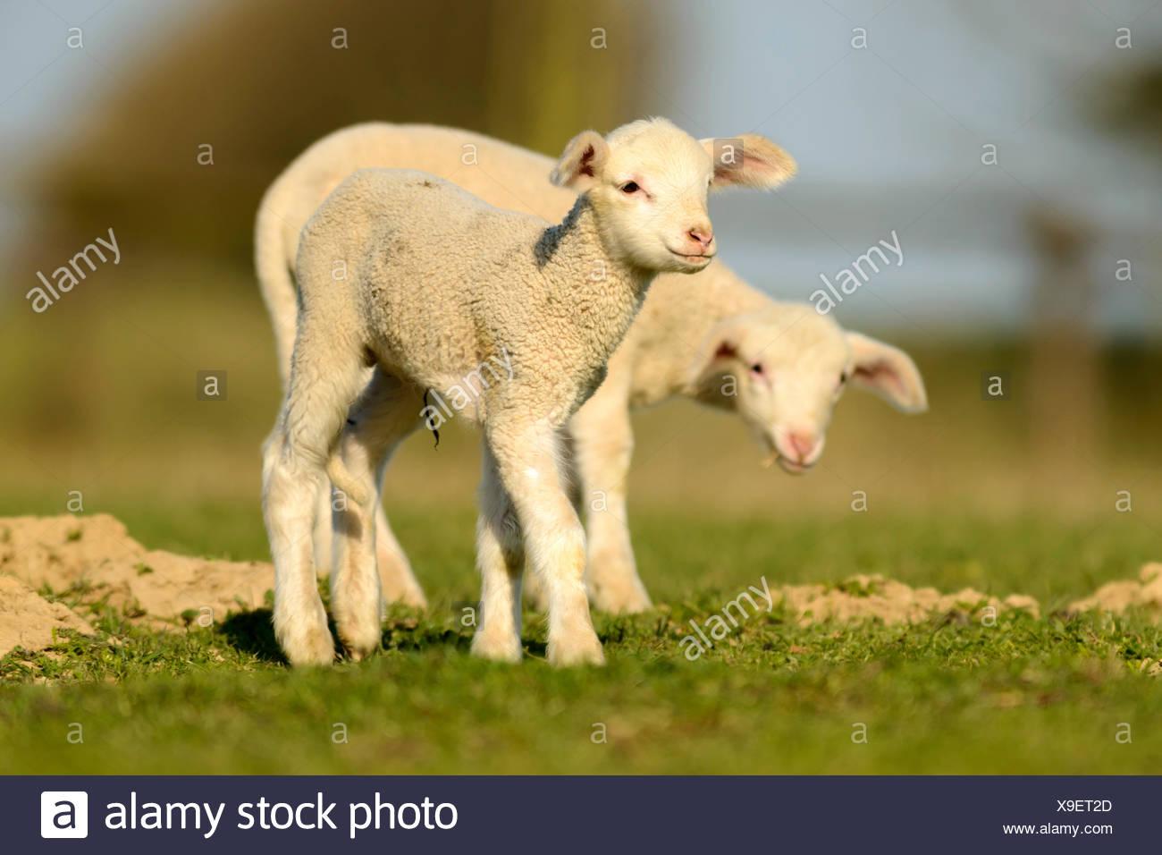 Merino Sheep, lambs - Stock Image