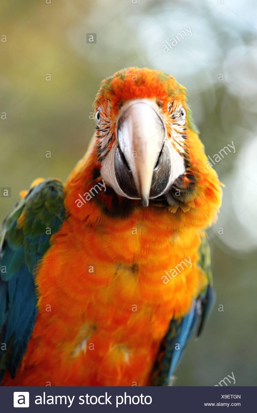 hybrid macaw - Stock Image