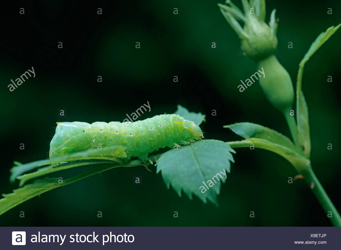 Copper Underwing, Humped Green Fruitworm, Pyramidal Green Fruitworm (Amphipyra pyramidea), on a stem - Stock Image