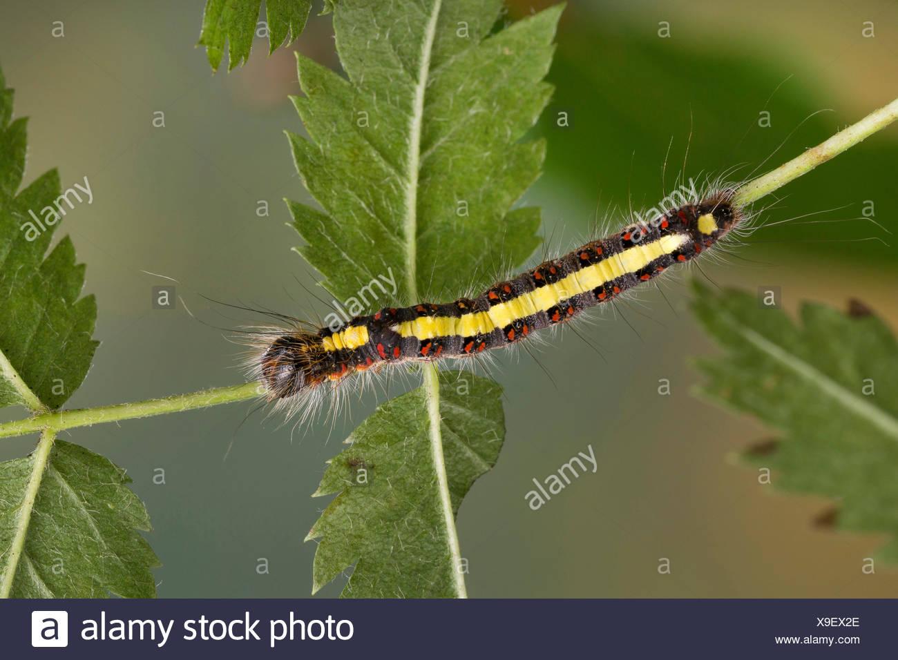 Grey dagger, Grey dagger moth (Acronicta psi, Acronycta psi, Apatele psi), caterpillar on a leaf, Germany - Stock Image