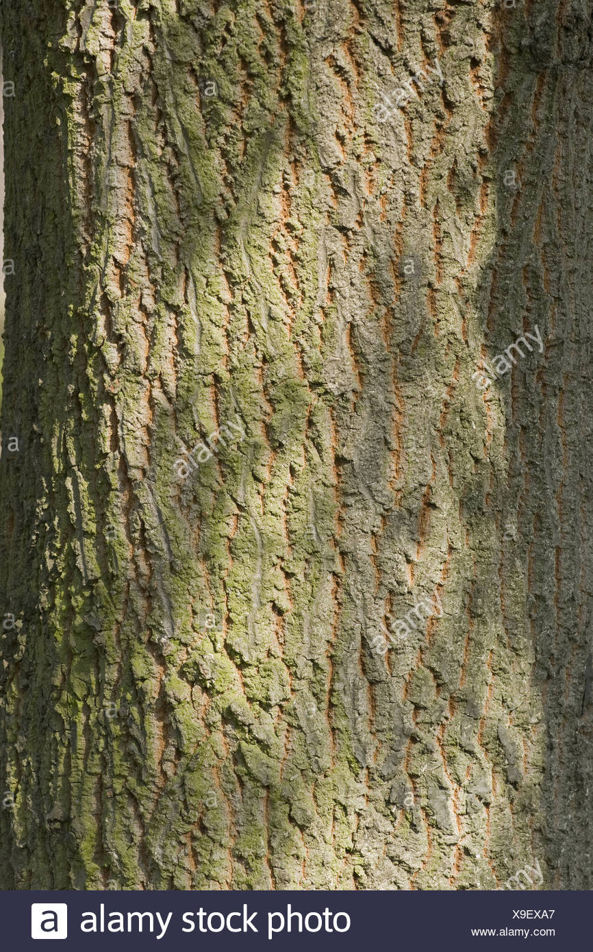 turkey oak, quercus cerris - Stock Image