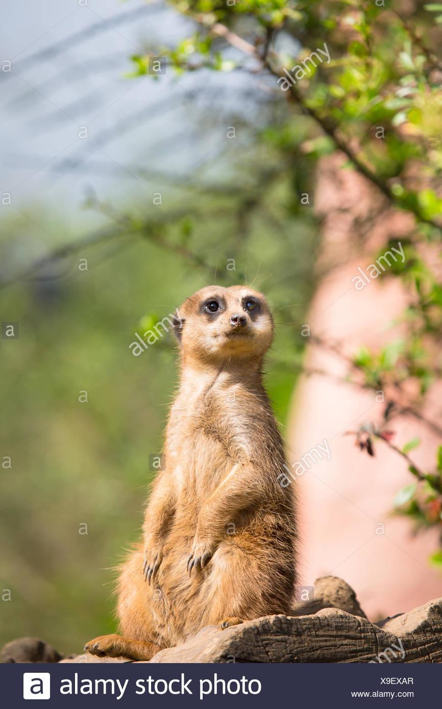 Meerkat watching interested - Stock Image