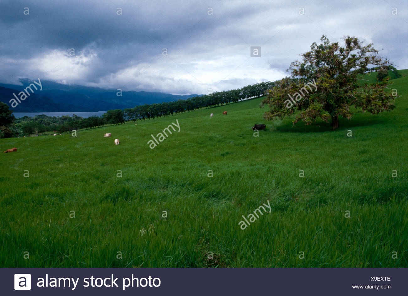 Cows grazing on pastureland, Costa Rica - Stock Image