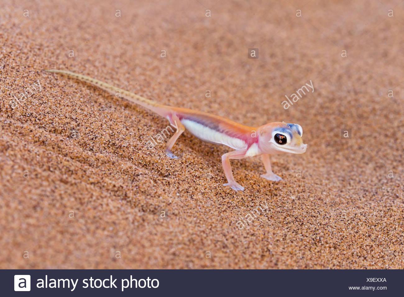 Africa, Namibia, Palmato gecko in namib desert Stock Photo