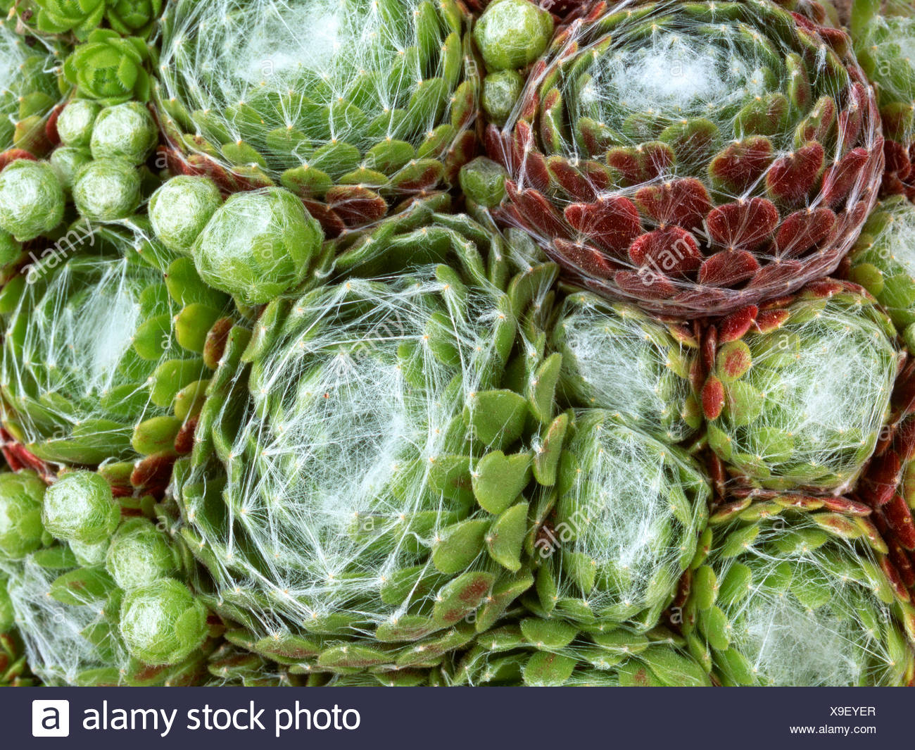 Houseleeks or Liveforever leaves (Sempervivum), Schwaz, Tyrol, Austria, Europe - Stock Image