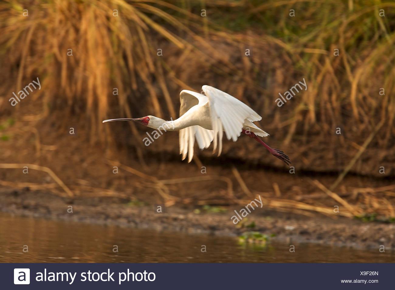 African spoonbill - Platalea alba, Mana Pools National Park, Zimbabwe - Stock Image