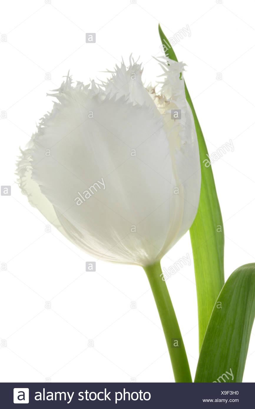 White tulip. - Stock Image