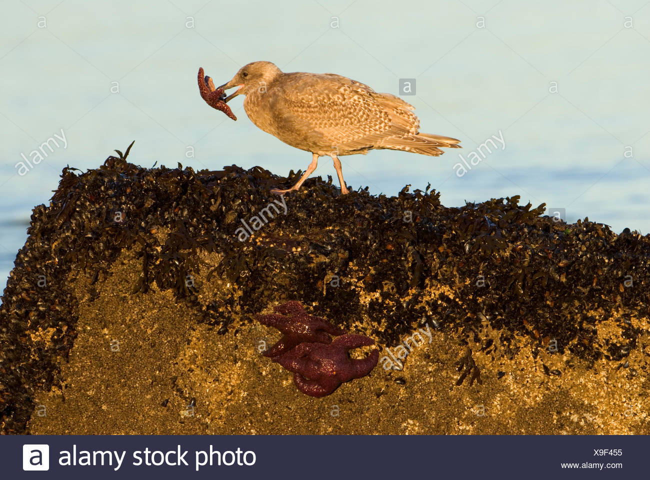 A gull, Laridae with a purple starfish, Pisaster ochraceus in its beak. - Stock Image