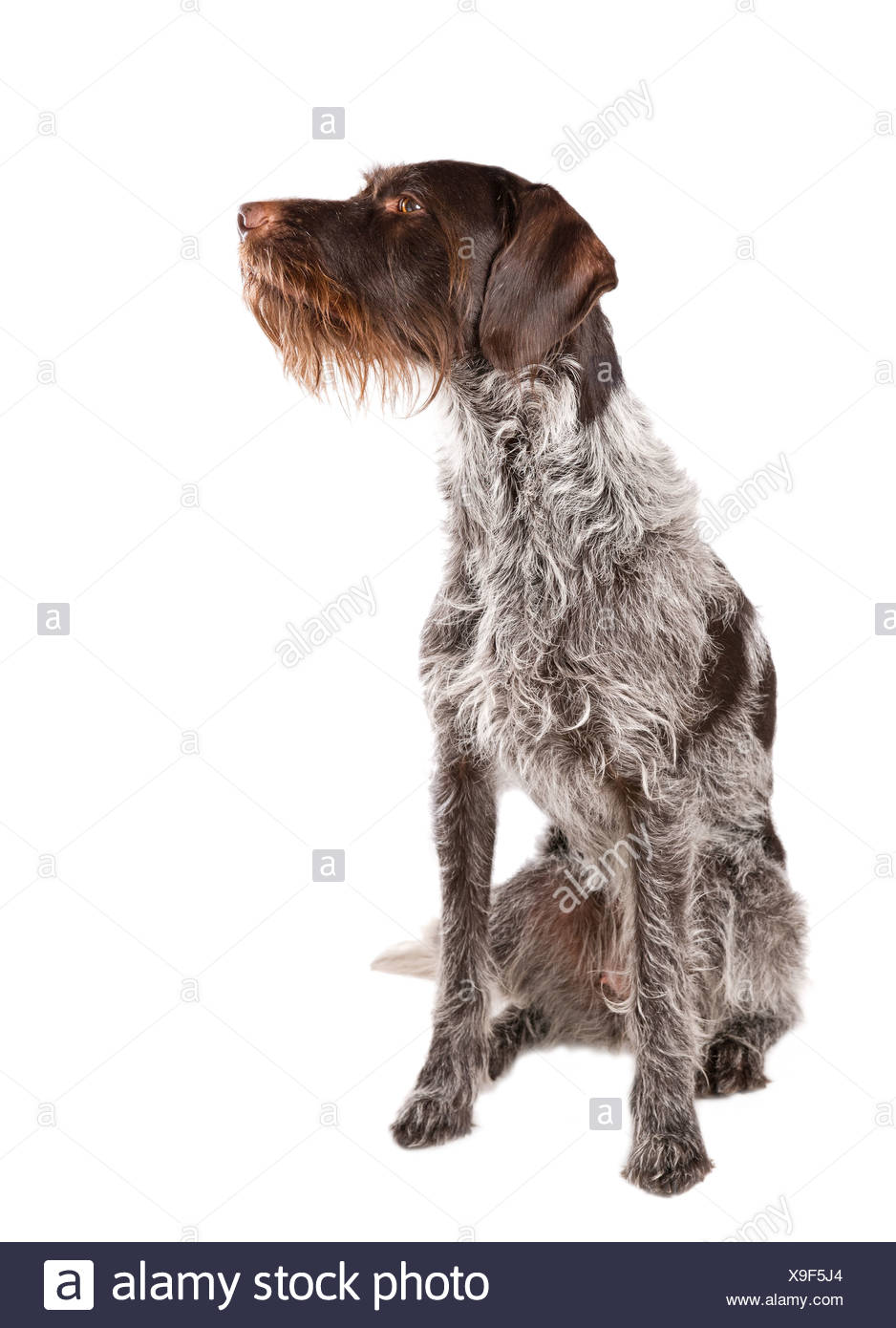 Sitting German wire-haired pointer with white background Stock Photo ...