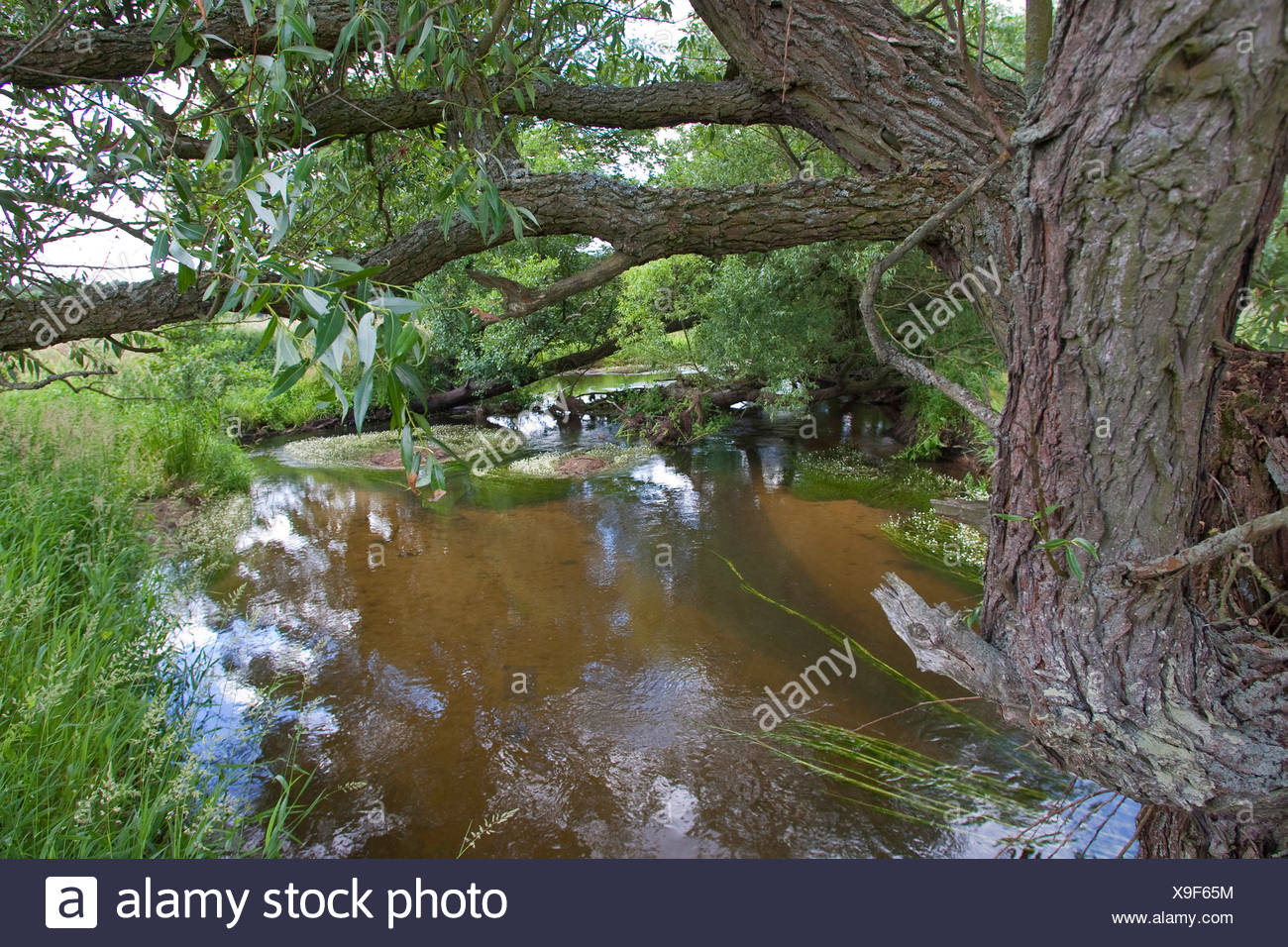 natural lowland stream with willows and hydrophytes, Germany - Stock Image
