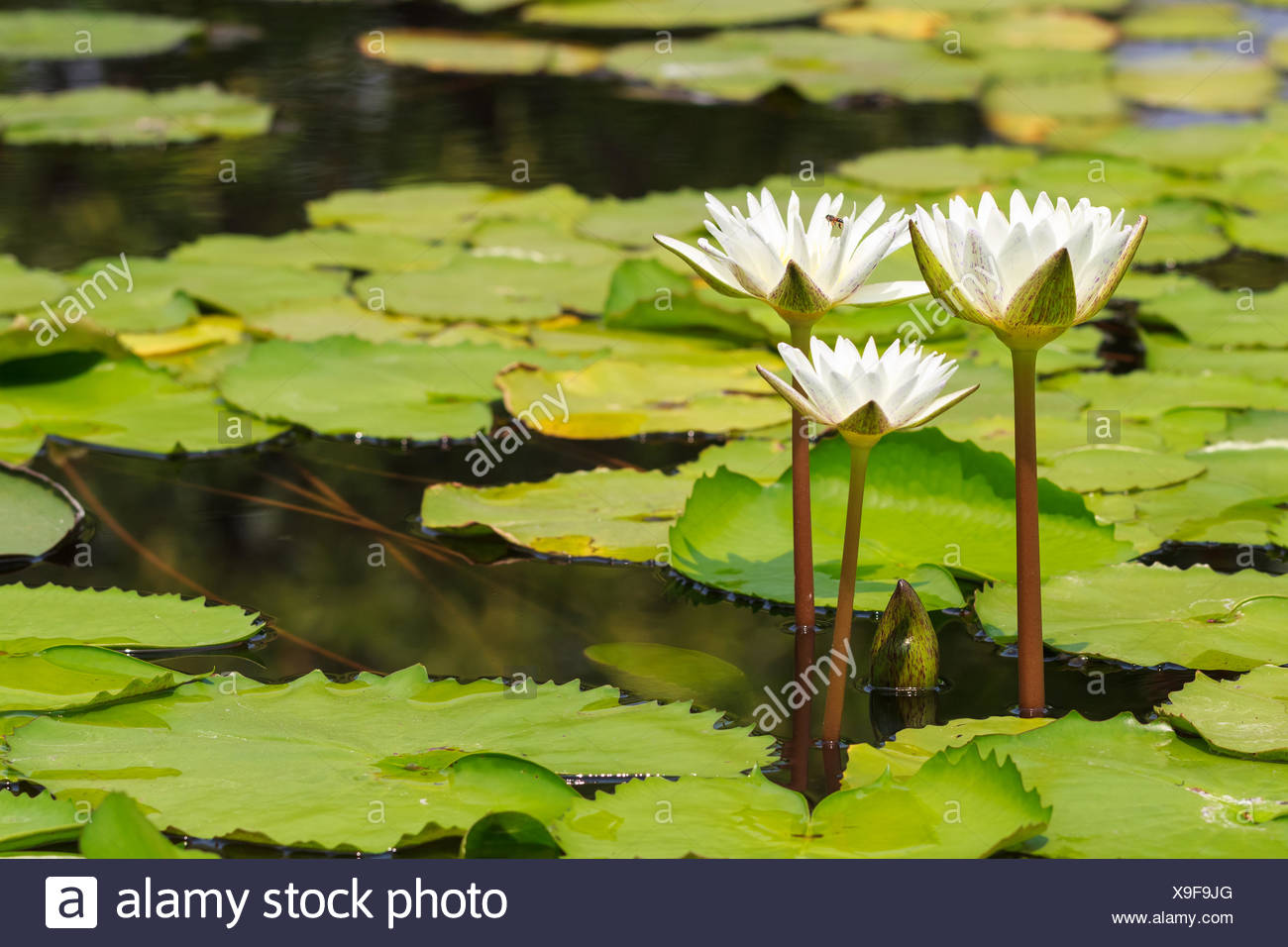 White Water Lily Blooming in Sunshine Day, Tranqui - Stock Image