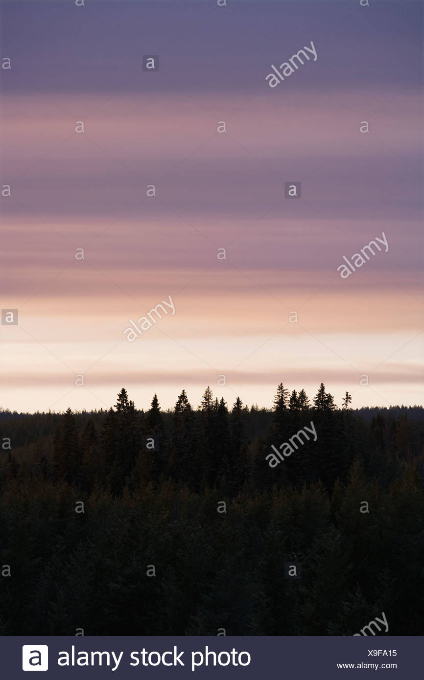 Spruce forest at dawn Norrland Sweden. - Stock Image